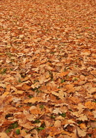 Oak leaves on ground