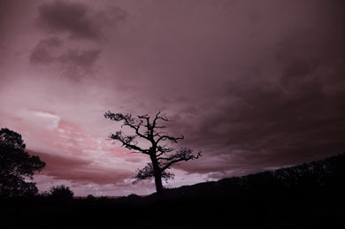 A great oak stands in silhouette against purple sky in the Vale of Evesham, where Montfort fights his last battle