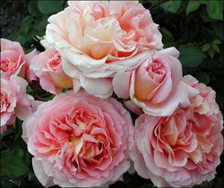Abraham Darby roses, pale pink and salmon and gorgeous