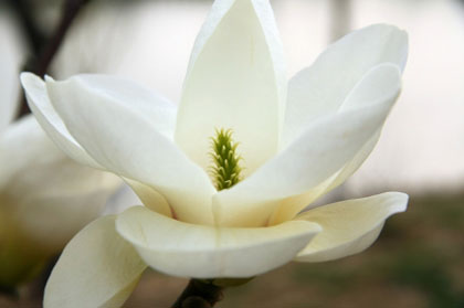 White bloom of Magnolia denudata