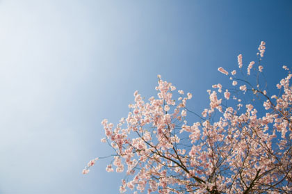 albion_blossoms_pink.jpg