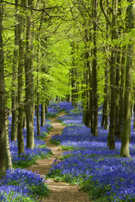 albion_bluebells_path_190w.jpg
