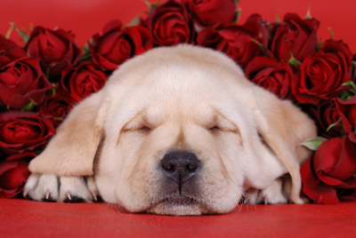 albion_pup_roses_440w.jpg