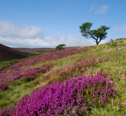 albion_scotland_heather.jpg