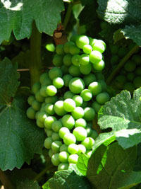 albion_wine_grapes_200w.jpg
