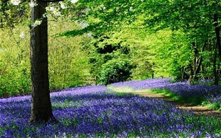 blog_bluebells_telegraph.jpg