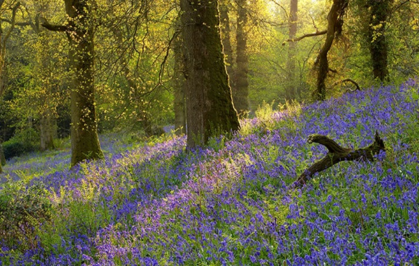 blog_bluebells_trees_cl.jpg