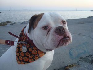 blog_english_bulldog_beach.jpg