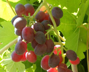 cr_herbert_grapes_180w.jpg