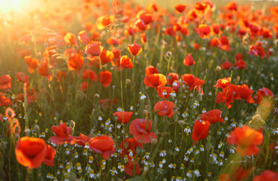 f_remembrance_poppy_fields.jpg