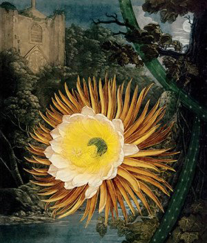 ii_thornton_nightblowing_cereus.jpg
