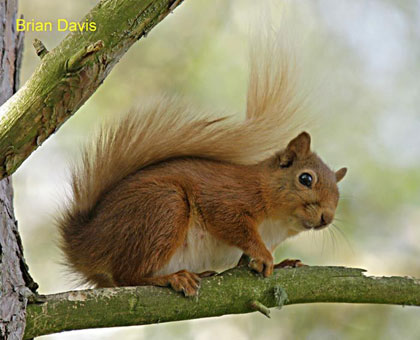 life_red_squirrel_brian_dav.jpg